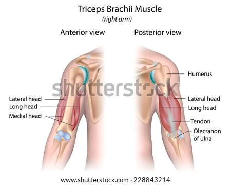 Triceps Brachii Muscle Labeled Stock Illustration 228843214
