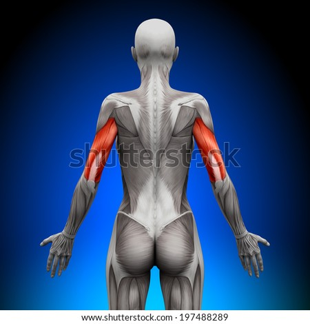 Triceps - Female Anatomy Muscles