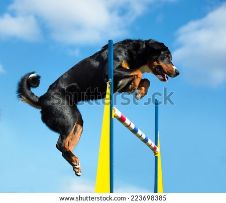 Tricolor Appenzeller sennenhunde dog jimp agility on the sky background - stock photo