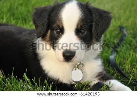 Tricolor Australian Shepherd (Aussie) Puppy Outside on Grass - stock photo