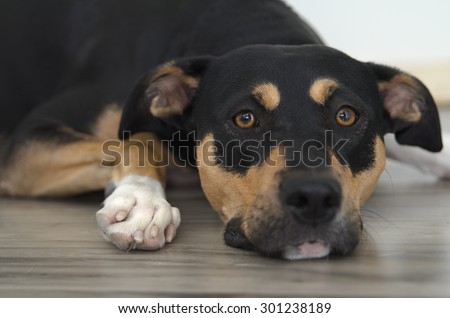 Tricolor boxer mix dog laying - stock photo