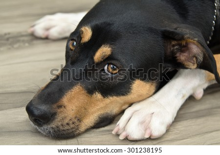 Very Sad Looking Very Old Labrador Stock Photo 40109149