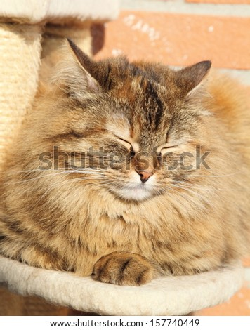 tricolor cat on the scratching post, female of siberian breed - stock photo