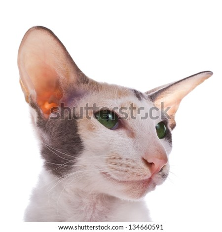 tricolor cat portrait isolated on white background - stock photo