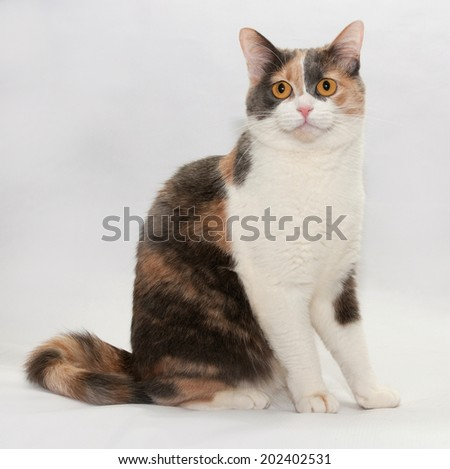 Tricolor cat sit on gray background