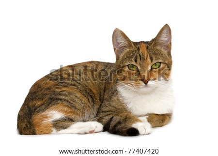 tricolor cat with a white background - stock photo