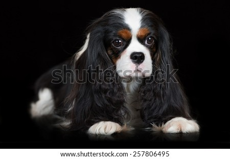 tricolor cavalier king charles spaniel dog on black - stock photo