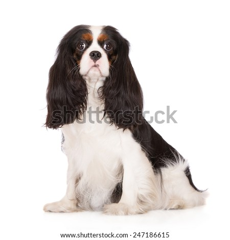tricolor cavalier king charles spaniel dog sitting on white