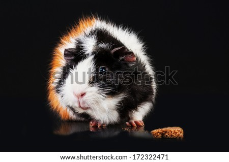 Tricolor cavy with rusk isolated on black - stock photo