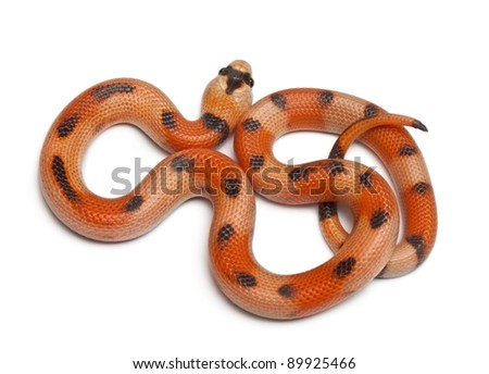 Tricolor Honduran milk snake, Lampropeltis triangulum hondurensis, in front of white background - stock photo