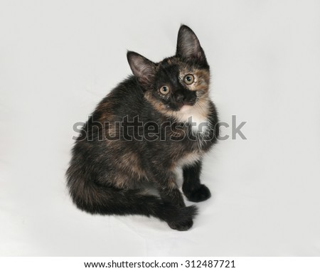 Tricolor kitten sitting on gray background