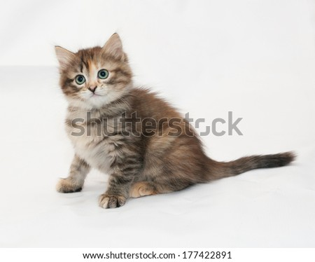 Tricolor kitten sitting on white background
