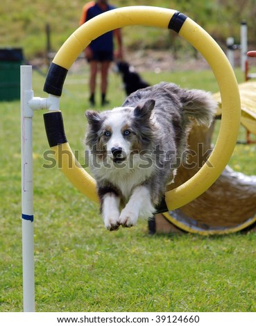 Tricolor Merle Border Collie jumping through a hoop - stock photo