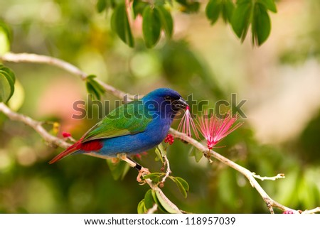 Tricolor parrot finch - stock photo