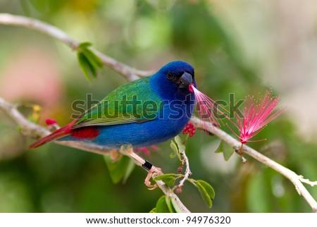 Tricolor parrot finch - stock photo