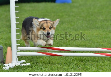 Tricolor Pembroke Welsh Corgi Leaping Over a Jump at a Dog Agility Trial - stock photo
