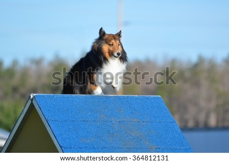 Tricolor Shetland Sheepdog (Sheltie) Climbing an A-frame at Dog Agility Trial - stock photo