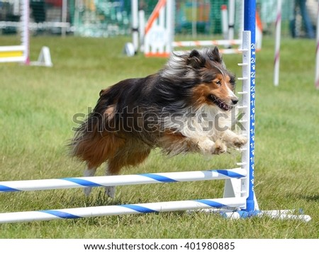 Tricolor Shetland Sheepdog (Sheltie) Leaping Over a Jump at Dog Agility Trial - stock photo