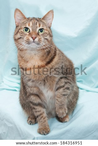 Tricolor striped cat with green eyes sitting and looking up, raising his paw on blue background