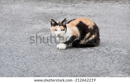 tricolored cat sitting on the street looking at camera - stock photo
