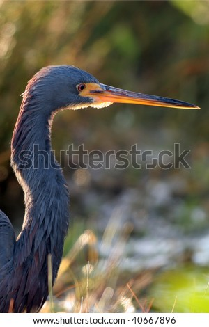 Tricolored heron at sunset - stock photo
