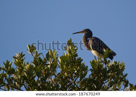 Tricolored Heron atop a tree on Florida's east coast