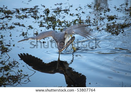 Tricolored heron awkwardly wading in water with wings spread - stock photo