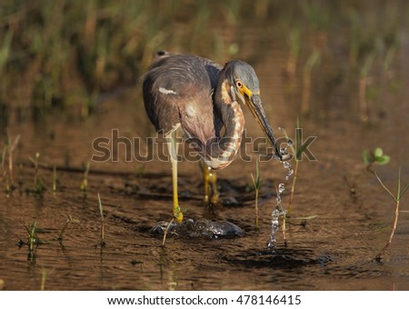 Tricolored Heron (Egretta tricolor) catching small fish, Kissimmee, Florida, USA