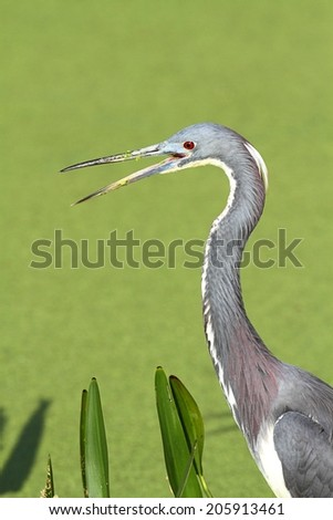 Tricolored Heron (Egretta tricolor) fishing in a pond in the Florida Everglades - stock photo