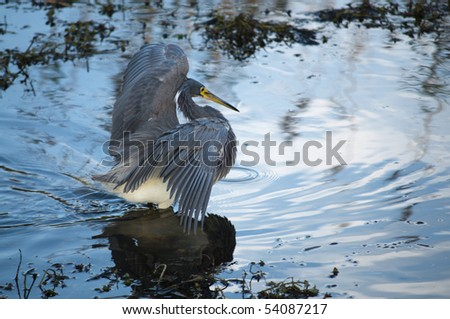 Tricolored heron (Egretta tricolor) preying in water at Everglades National park - stock photo