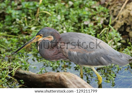 Tricolored Heron (Egretta tricolor) stalking its prey at the edge of a pond - Everglades National Park, Florida - stock photo