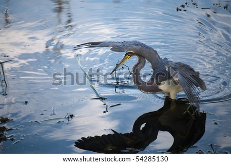 Tricolored heron getting ready to catch it's prey in the water - stock photo