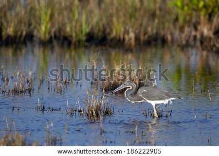 Tricolored Heron has caught a fish at Merritt Island National Wildlife Refuge - stock photo