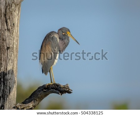 Tricolored heron on a branch in Florida, USA.