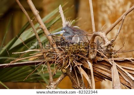 Tricolored Heron sitting on nest - stock photo