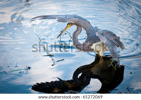 Tricolored heron watching it's prey with reflection in the water
