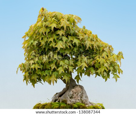 Trident Maple (Acer buergerianum) bonsai tree