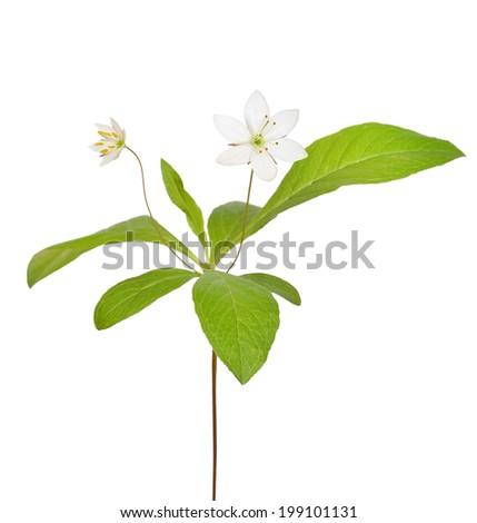 Trientalis europaea flower isolated on white background - stock photo