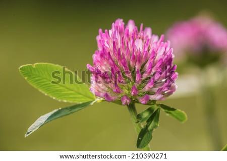 Trifolium pratense - stock photo