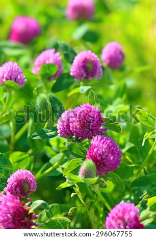 Trifolium pratense. Thickets of a blossoming clover - stock photo