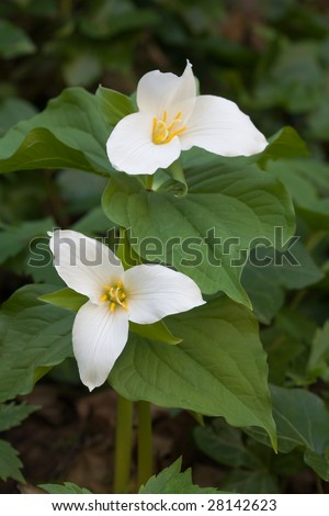 Trillium Flowers in a forest - stock photo
