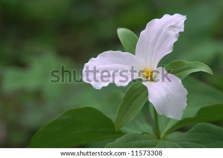 Trillium Grandflorum Close-Up Horizontal - stock photo