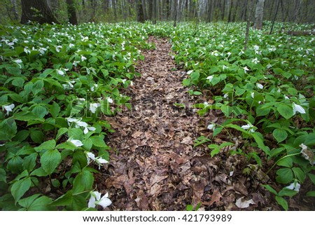 Trillium Wildflower Trail In The Forest. Wildflower trillium line a winding forest path in a Great Lakes coastal forest habitat. Trillium are the official wildflower of Ontario and Ohio. - stock photo