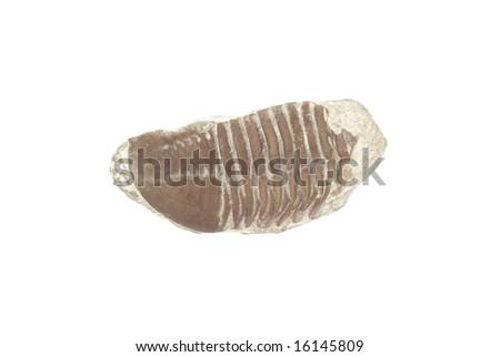 Trilobite. Asaphus in limestone. Ordovician - stock photo