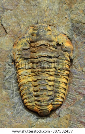 trilobite fossil as very nice natural background - stock photo