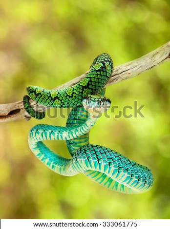 Trimeresurus trigonocephalus, also known as Sri Lankan Palm Viper, a venomous tree snake found in the grasslands and rainforests of Sri Lanka. Blurred trees in background - stock photo