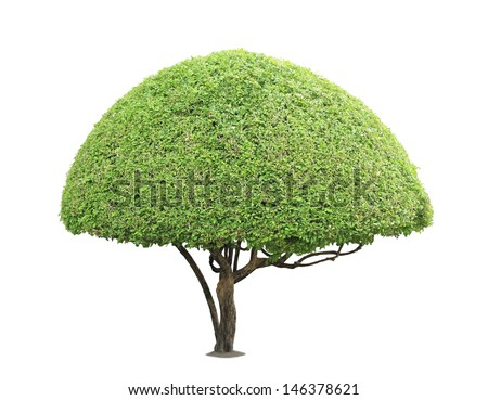Trimmed jessamine tree isolated on white background