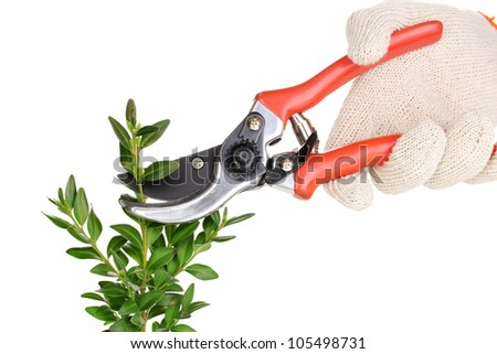 Trimming bush branch with pruner isolated on white - stock photo