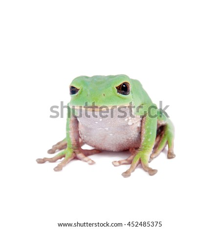 Trinidad Monkey Leaf Frog, Phyllomedusa trinitatus, isolated on white background - stock photo