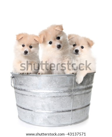Trio of Adorable Puppies in a Washtub - stock photo